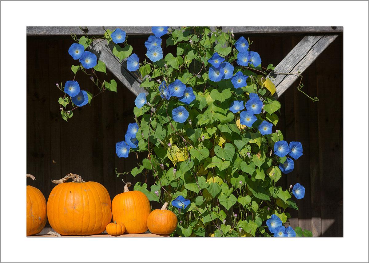 5x7 Photo Card: Morning Glories in Fall
