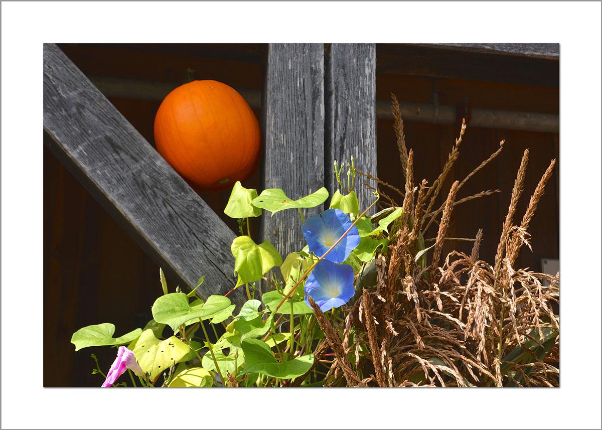 5x7 Photo Card: Pumpkin Morning Glory