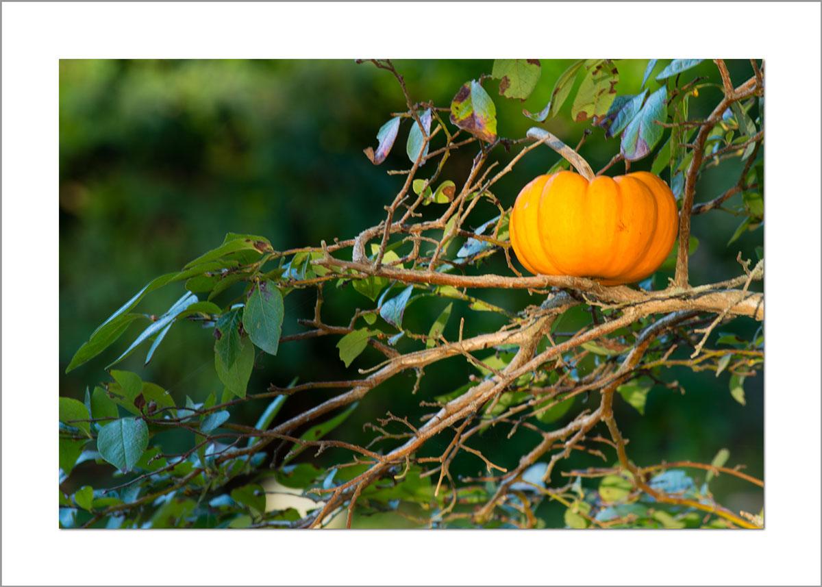5x7 Photo Card: Pumpkin in Tree