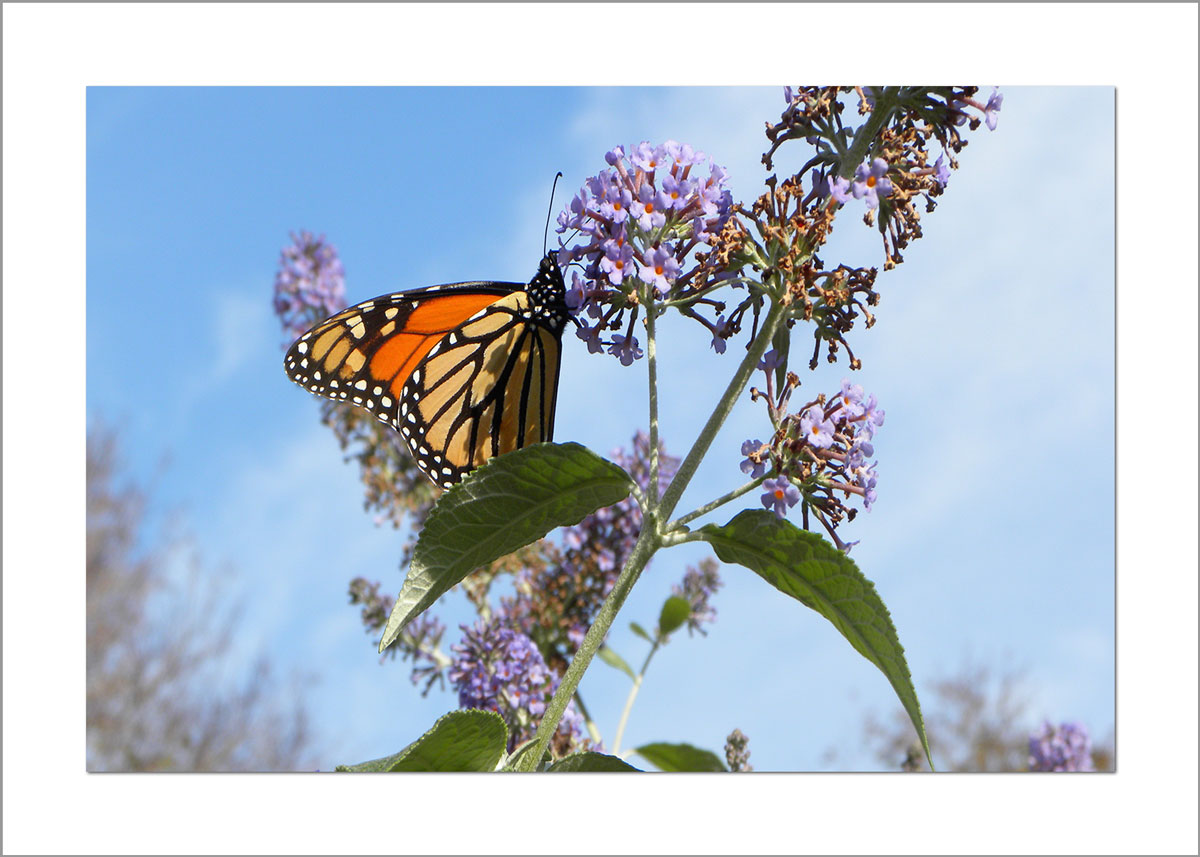 5x7 Photo Card: Butterfly Weed
