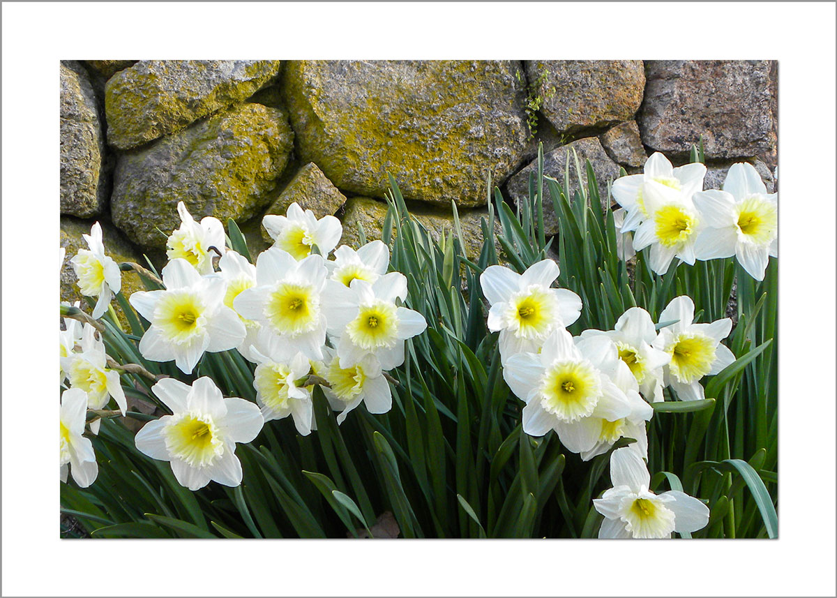 5x7 Photo Card: Daffodils by Wall