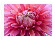 5×7 Photo Card: Dahia Close Up Pink 1