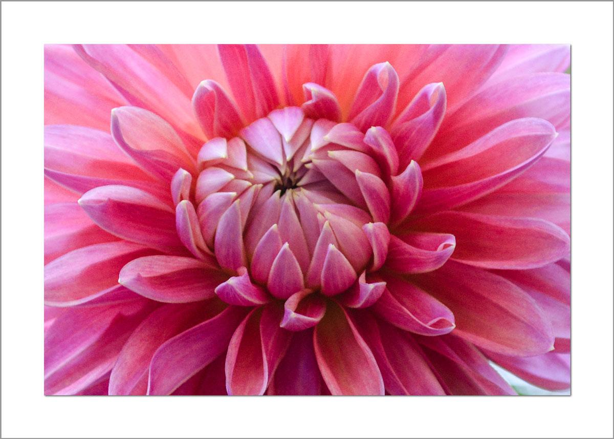 5x7 Photo Card: Dahia Close Up Pink
