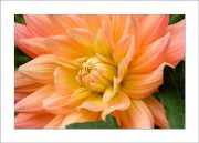 5×7 Photo Card: Dahlia Light Orange 1