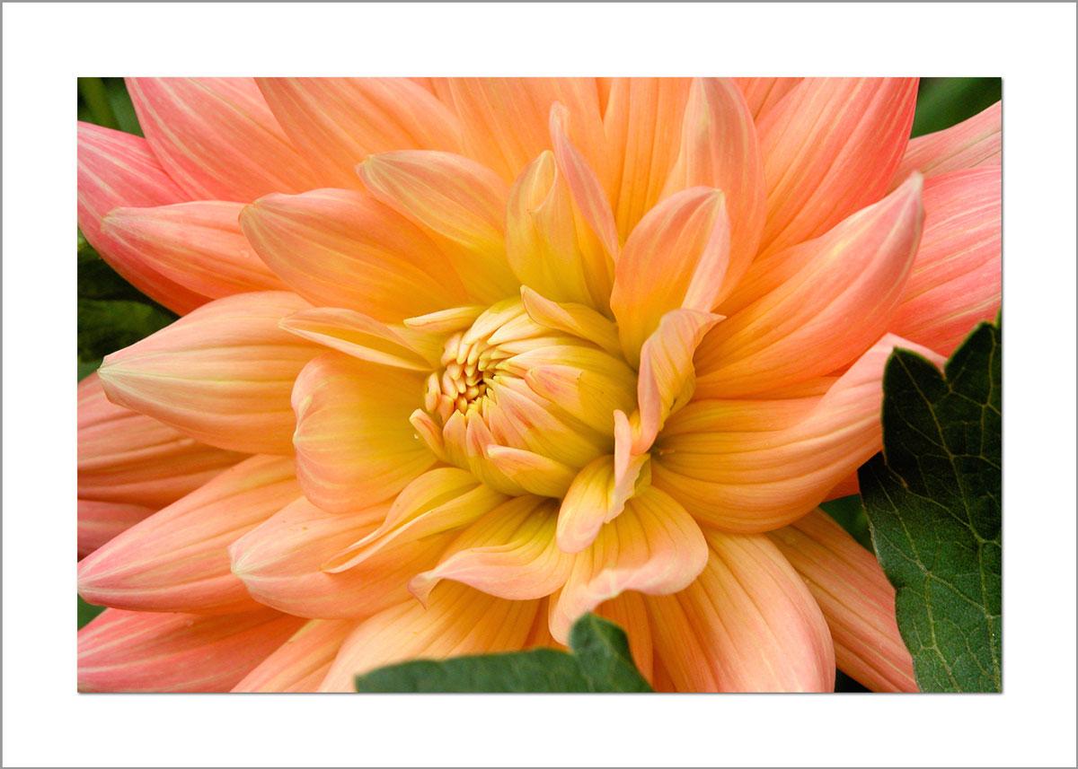 5x7 Photo Card: Dahlia Light Orange