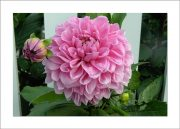 5×7 Photo Card: Dahlia Pink by Fence 1