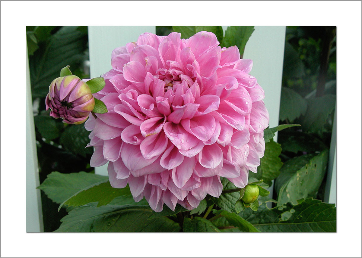 5x7 Photo Card: Dahlia Pink by Fence