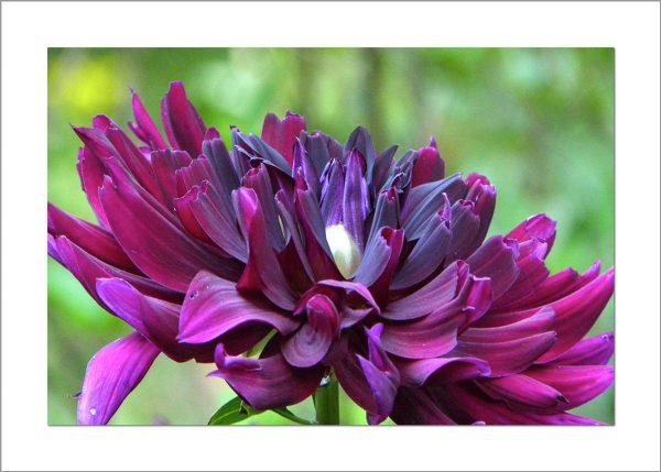 5x7 Photo Card: Dahlia Purple