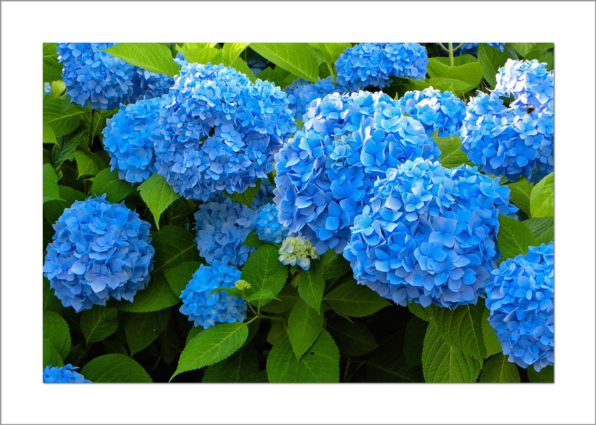 5x7 Photo Card: Hydrangea Bushes