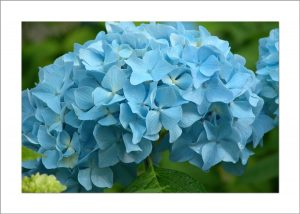 5x7 Photo Card: Hydrangea Single Blue
