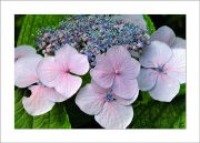 5×7 Photo Card: Hydrangeas Lace Cap 1