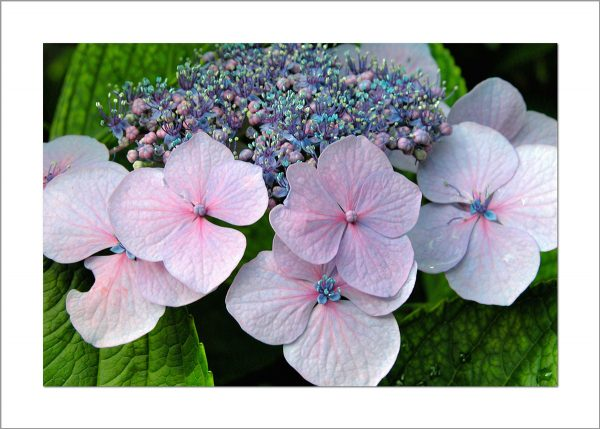 5x7 Photo Card: Hydrangeas Lace Cap