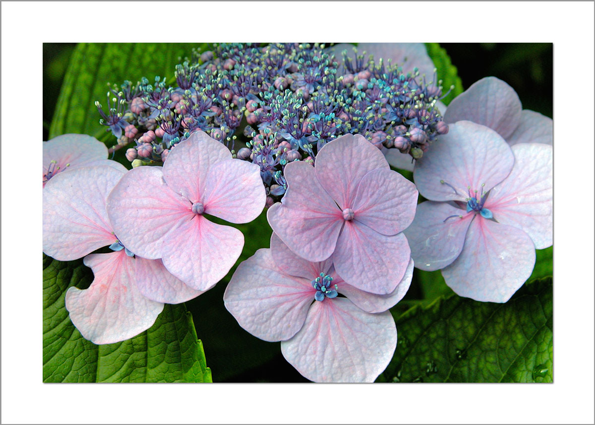 5x7 Photo Card: Hydrangeas Lace Cap