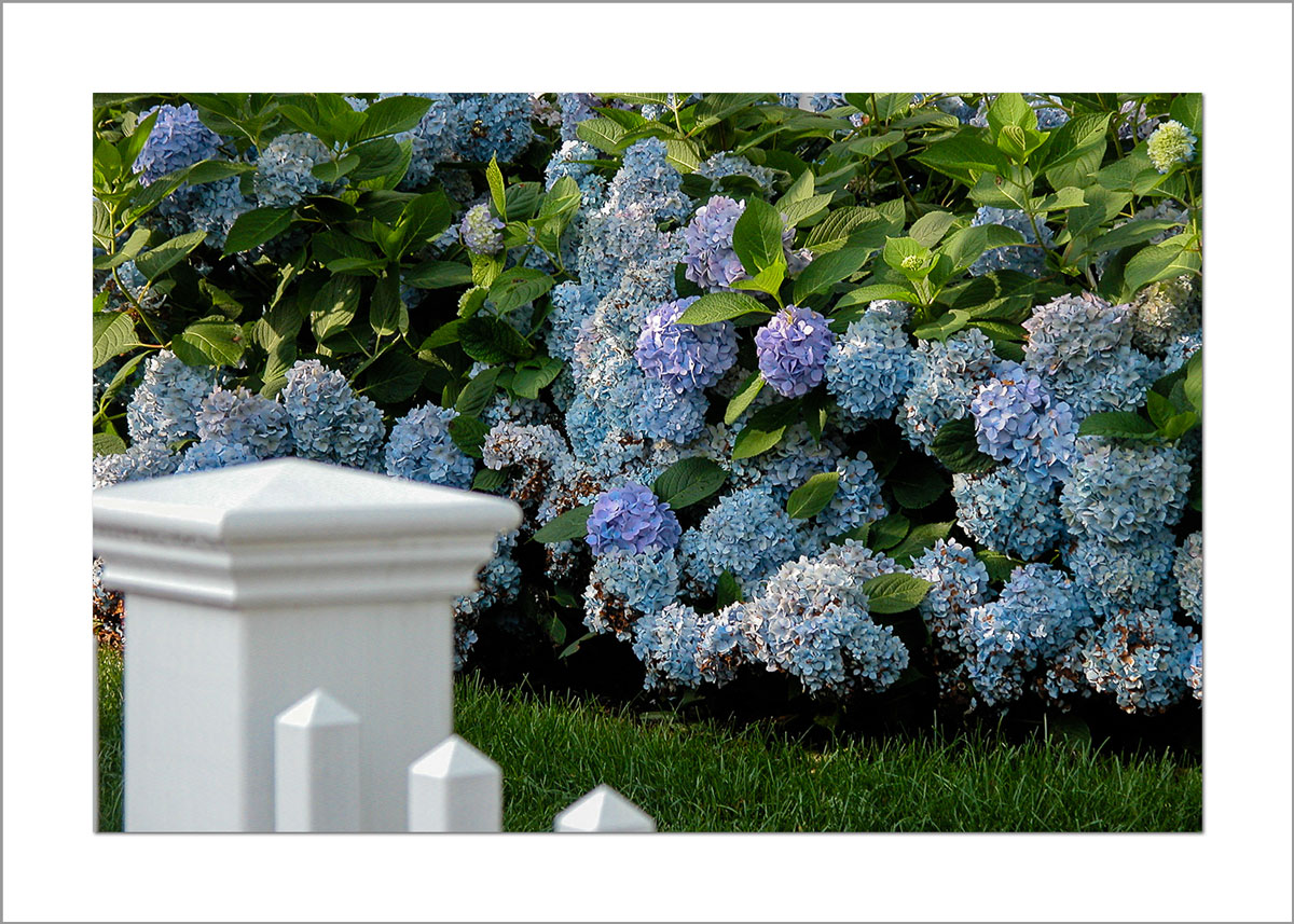 5x7 Photo Card: Hydrangeas by Fence