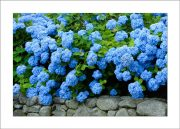 5×7 Photo Card: Hydrangeas on Stone Wall 1