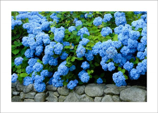 5x7 Photo Card: Hydrangeas on Stone Wall