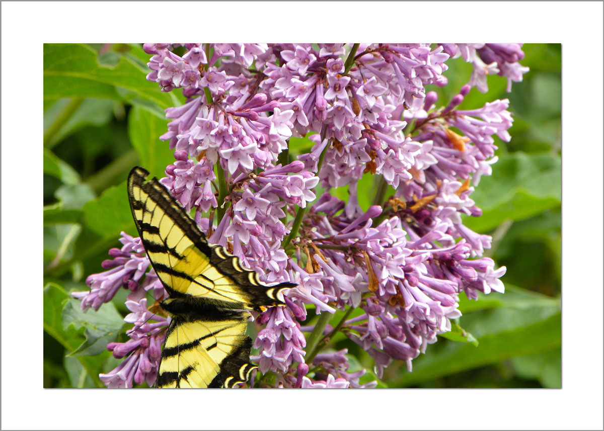 5x7 Photo Card: Lilac with Butterfly
