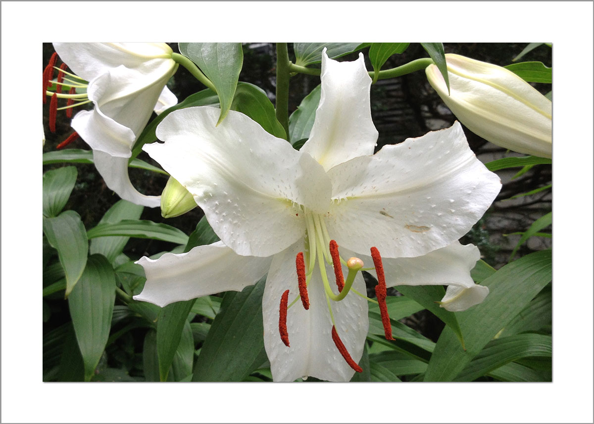 5x7 Photo Card: Lilies White