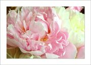 5×7 Photo Card: Peonies Pink and White 1