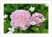 5×7 Photo Card: Peonies Two 1