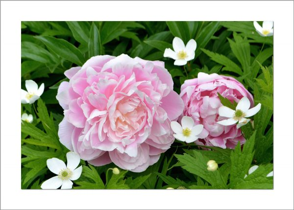 5x7 Photo Card: Peonies Two
