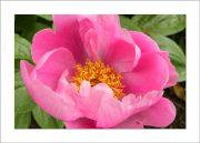 5×7 Photo Card: Peony Dark Pink 1