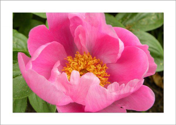 5x7 Photo Card: Peony Dark Pink