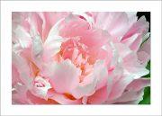 5×7 Photo Card: Peony Light Pink 1