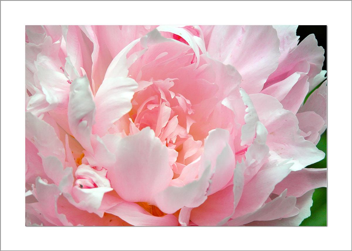 5x7 Photo Card: Peony Light Pink