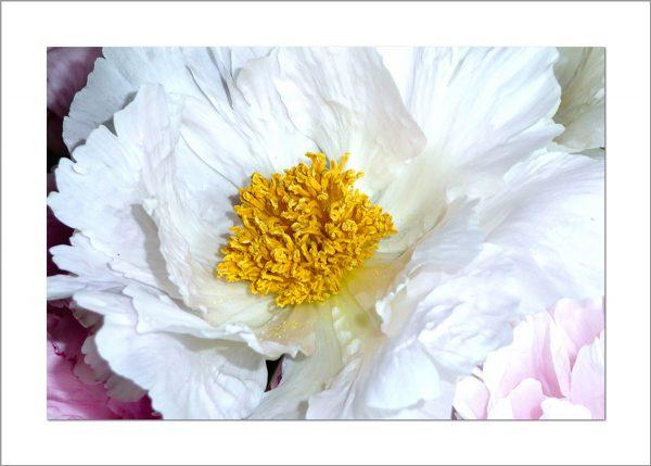 5x7 Photo Card: Peony White