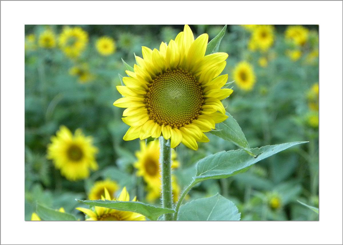 5x7 Photo Card: Sunflower Garden