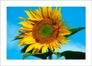5×7 Photo Card: Sunflower Tall 1