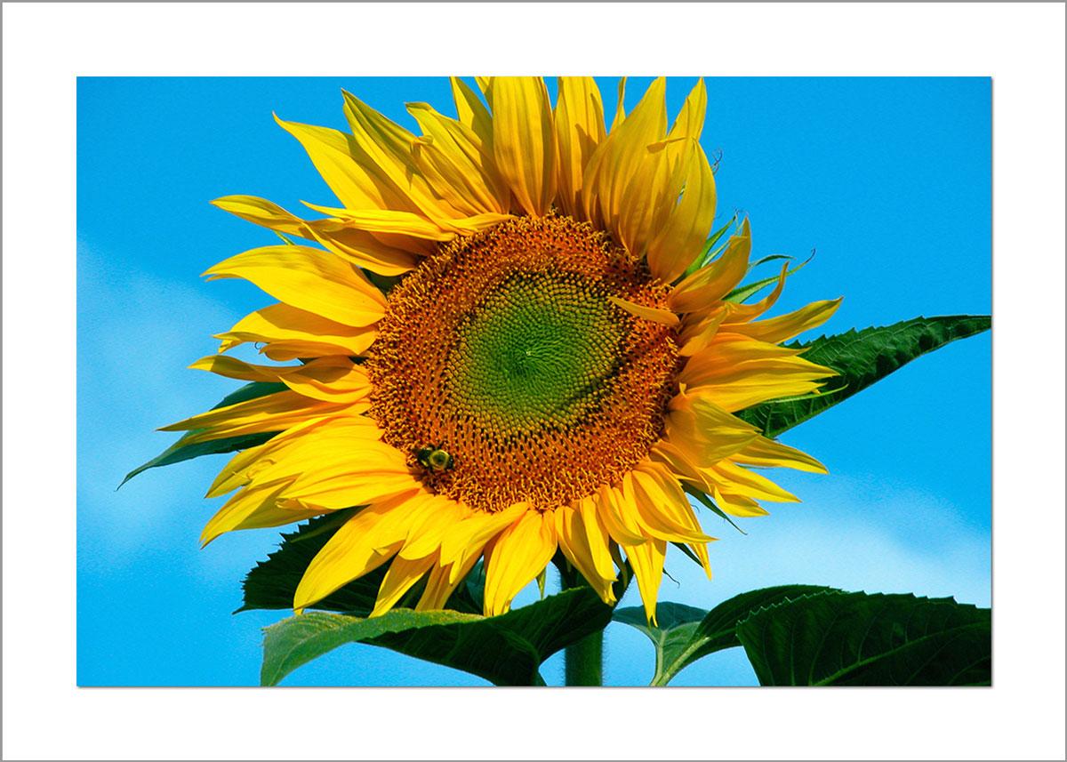 5x7 Photo Card: Sunflower Tall