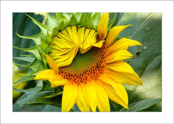 5x7 Photo Card: Sunflower Unfolding