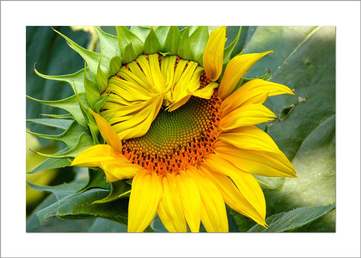 5x7 Photo Card: Sunflower Unfolding