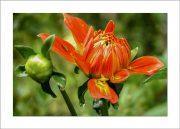 card5x7_flower_dahlia-0375
