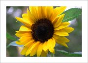 card5x7_flower_sunflower-1183