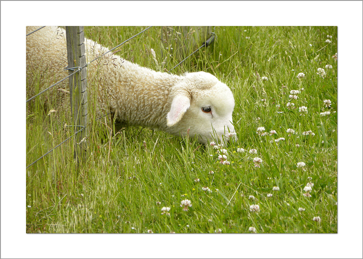 5x7 Photo Card: Lamb Eating