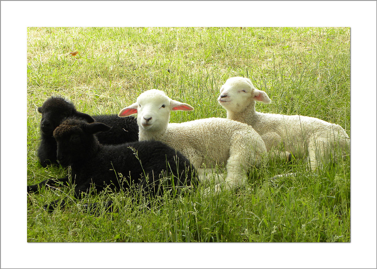 5x7 Photo Card: Lambs Four