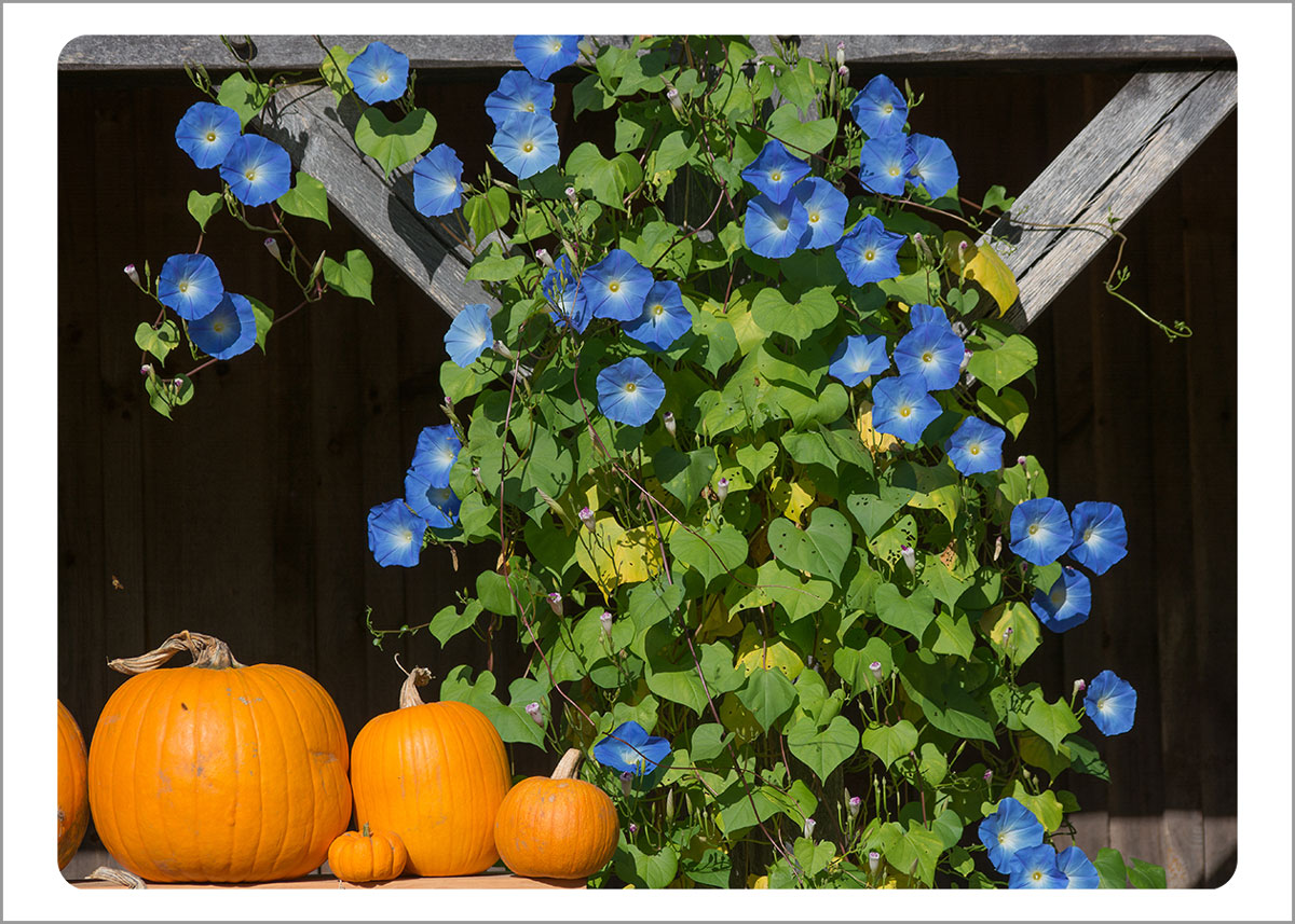 Boxed Gift Enclosures: Morning Glories in Fall (Box of 5)