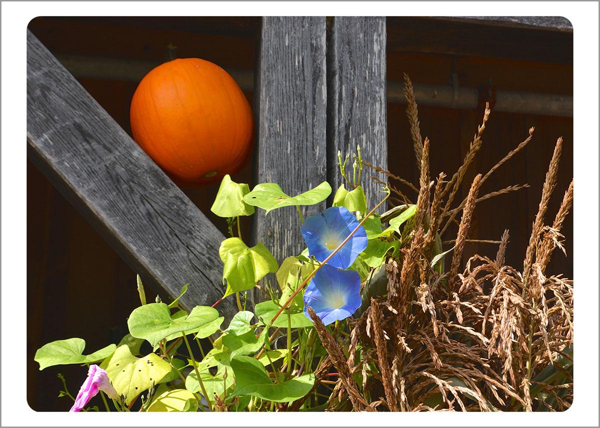 Boxed Gift Enclosures: Pumpkin Morning Glory (Box of 5)