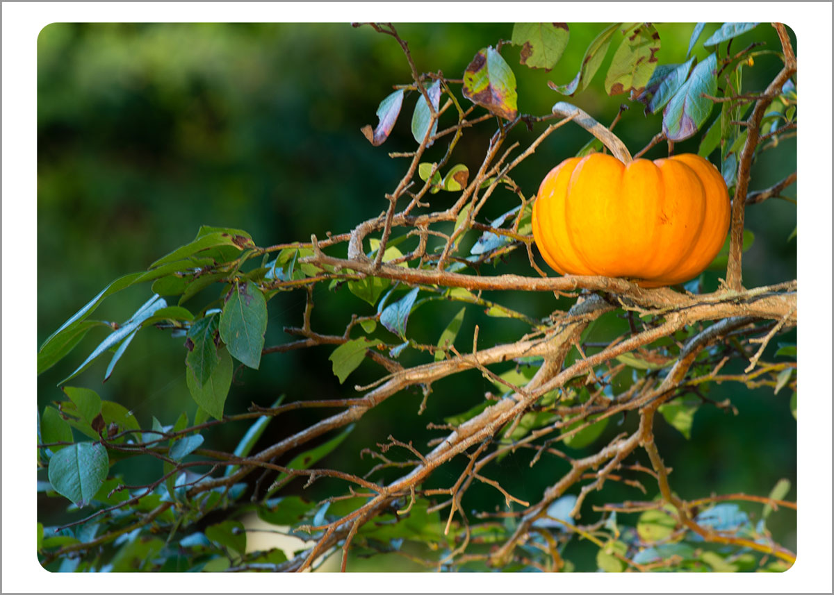 Boxed Gift Enclosures: Pumpkin in Tree (Box of 5)