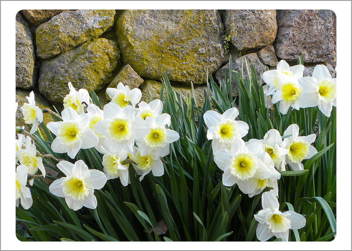 Boxed Gift Enclosures: Daffodils by Wall (Box of 5)
