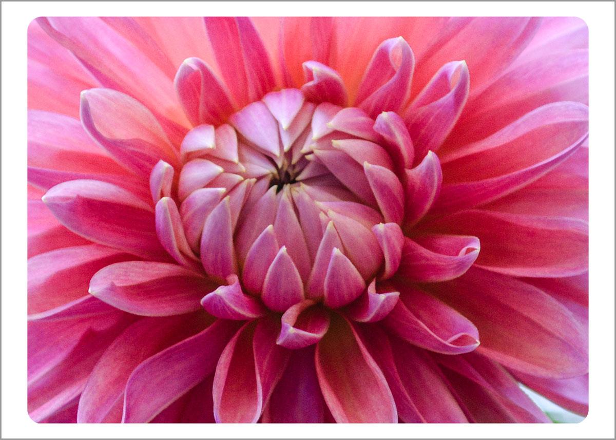 Boxed Gift Enclosures: Dahia Close Up Pink (Box of 5)