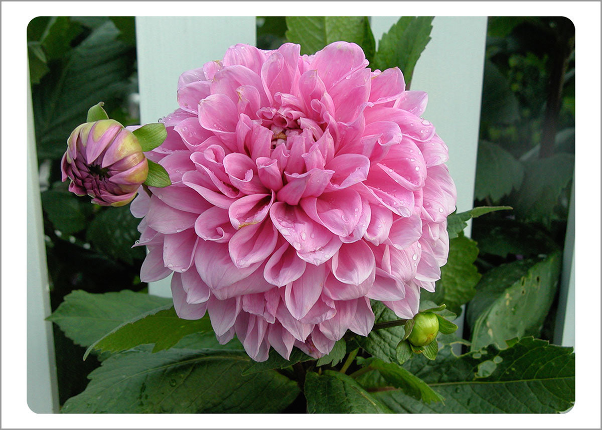 Boxed Gift Enclosures: Dahlia Pink by Fence (Box of 5)