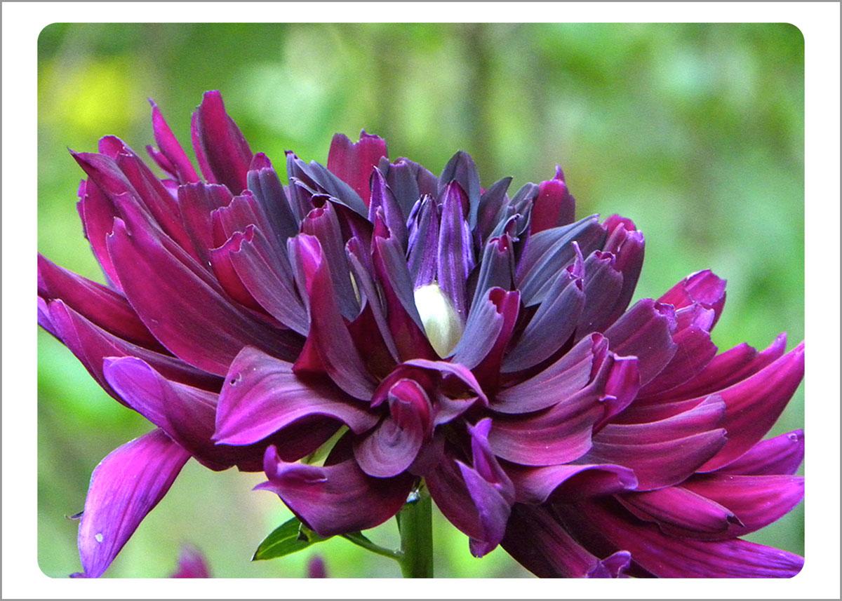 Boxed Gift Enclosures: Dahlia Purple (Box of 5)