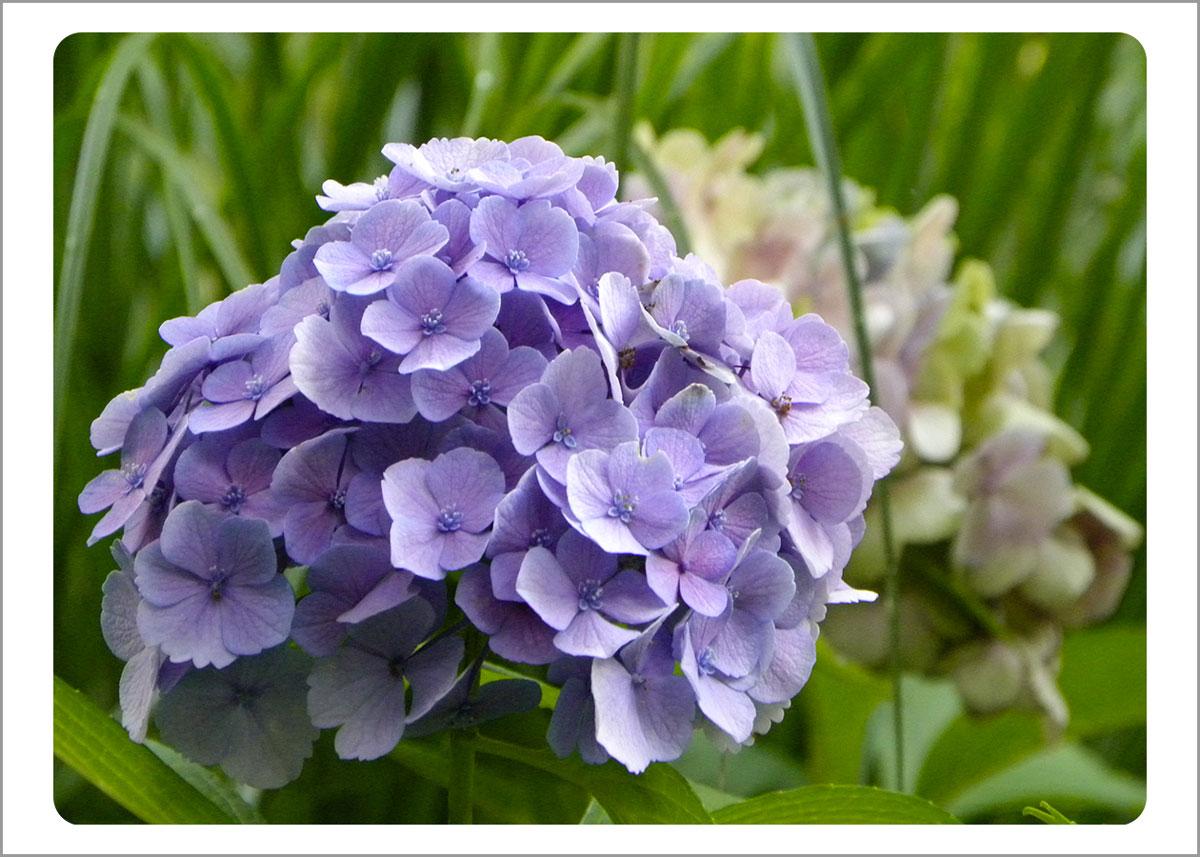 Boxed Gift Enclosures: Hydrangea Purple (Box of 5)