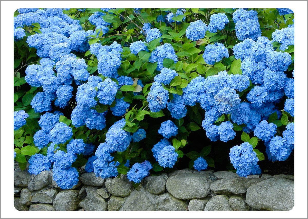 Boxed Gift Enclosures: Hydrangeas on Stone Wall (Box of 5)