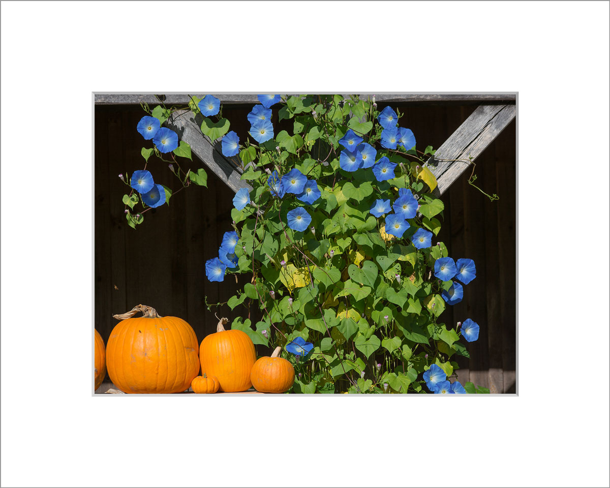 Matted 5x7 Photo: Morning Glories in Fall