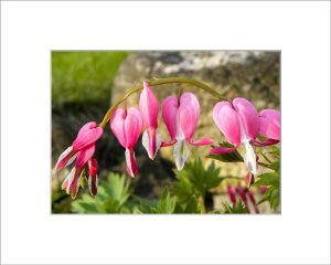 Matted 5x7 Photo: Bleeding Heart Pink